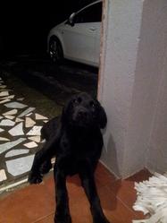 Lilie, chien Labrador Retriever