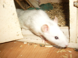 Lilith, rongeur Rat