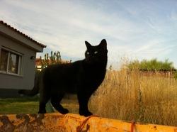 Lilith, chat Européen