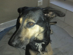 Lilith, chien Beauceron