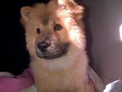 Lilla, chien Chow-Chow