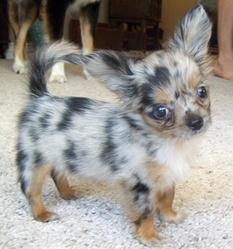 Roxi, chien Chihuahua
