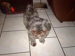 Lilly, chien Shih Tzu