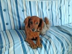 Lilly, chien Teckel