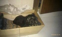 Lilly, chien Bichon maltais