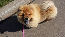 Lilly, chien Chow-Chow