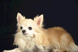 Lilly, chien Chihuahua