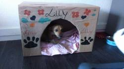 Lilly, chien Jack Russell Terrier