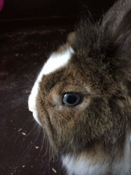 Lilly, rongeur Lapin