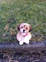 Lilo, chien Lhassa Apso