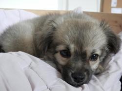 Lilo, chien Chihuahua