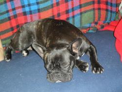 Lilo, chien Bouledogue français