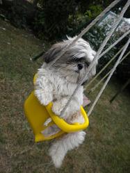Lilo, chien Shih Tzu
