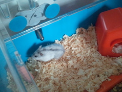 Lilo, rongeur Hamster