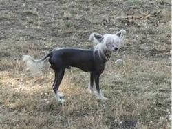 Lilo, chien Chien chinois à crête