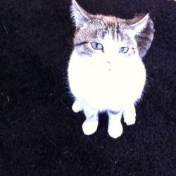 Lilo, chat Européen