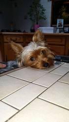 Lilo, chien Yorkshire Terrier