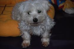 Lilo, chien Coton de Tuléar