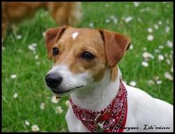 Lilo'Trésors , chien Jack Russell Terrier