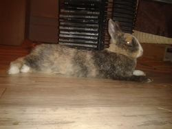 Liloo, rongeur Lapin