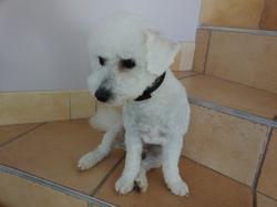 Liloo, chien Bichon à poil frisé