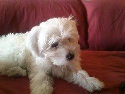 Lilou, chien Bichon maltais