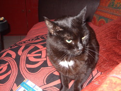 Lilou , chat Européen