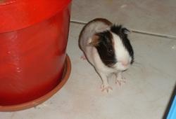 Lilou, rongeur Cochon d'Inde