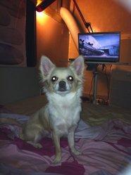 Lilou, chien Chihuahua