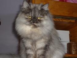 Lilou, chat Persan