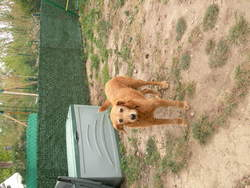 Lilou , chien