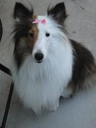 Lilou, chien Berger des Shetland