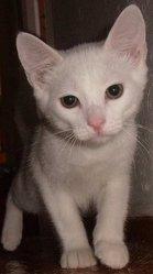 Lilou , chat