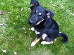 Lilou, chien Berger allemand