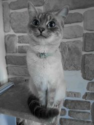 Lilou, chat Siamois