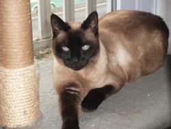 Lilou, chat Thaï
