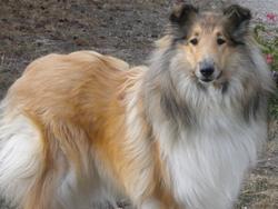 Lilou, chien Colley à poil long