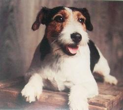 Lilou, chien Fox-Terrier