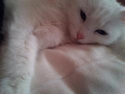 Lilou, chat Angora turc