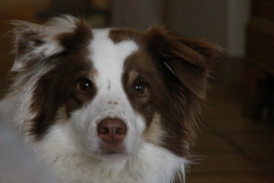 Lilou, chien Border Collie