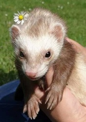 Lilou, rongeur Furet