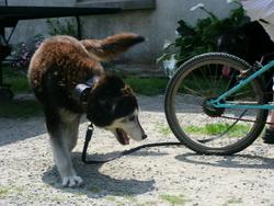 Lilou, chien Husky sibérien