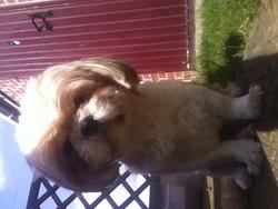 Lilou, chien Shih Tzu