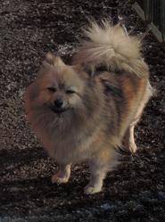 Lilou, chien Spitz allemand