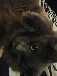Lilou, chat Chartreux