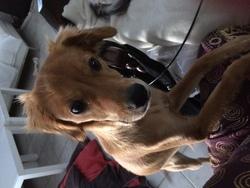 Lilou, chien Épagneul français