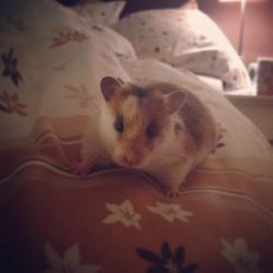 Lilou, rongeur Hamster
