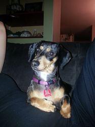Lilou, chien Teckel