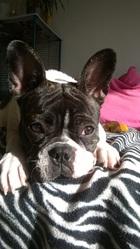 Lilou, chien Bulldog