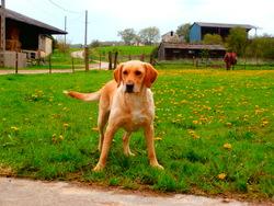 Lilou, chien Labrador Retriever